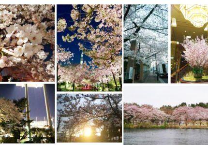 (Japanese text only.) お花見令が公布された件について~桜見てみた~ #creationline #recruit #採用 #新入社員 #就活 #HR #お花見 #桜 #CherryBlossoms #春